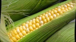 От зернышка до початка. Выращиваем кукурузу правильно