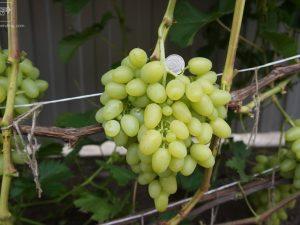 Сорта винограда Аркадия и Арочный