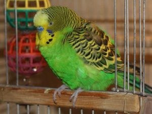 Быт волнистого попугая