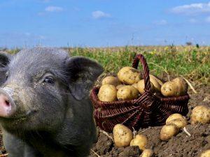 Картофель для корма домашних животных